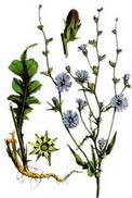 Синя жлъчка (Cichorium Intybus)