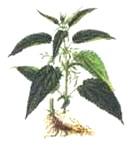 Коприва (Urtica dioica)