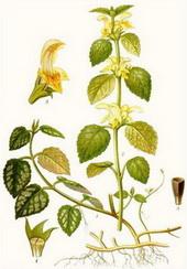 Жълта мъртва коприва (Lamium galeobdolon)