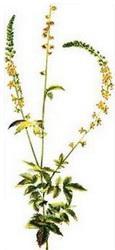 Камшик (Agrimonia eupatoria)