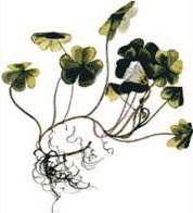Киселица (Oxalis acetosella)