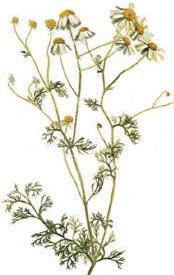 Лайка (Matricaria chamomilla)