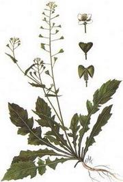 Овчарска торбичка (Capsella bursa-pastoris)
