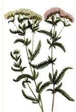 Бял равнец (Achilea millefolium)