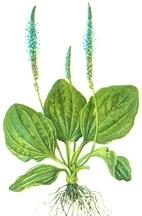 Широколист жиловлек (Plantago lanceolata)