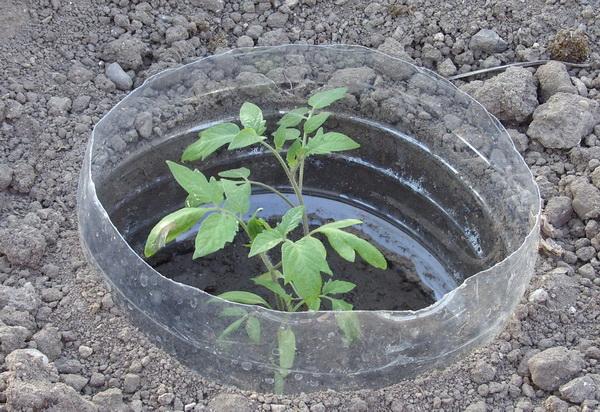 Разсад от домати, защитен в пластмасова туба от минерална вода.